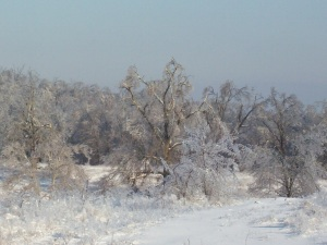 Trees Moaning Under the weight of ice